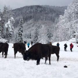 Таємниці зимового лісу: в гості до зубрів