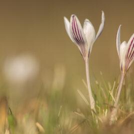 Першоцвіти в степах Київщини